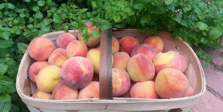 Basket full of Peaches in the Garden