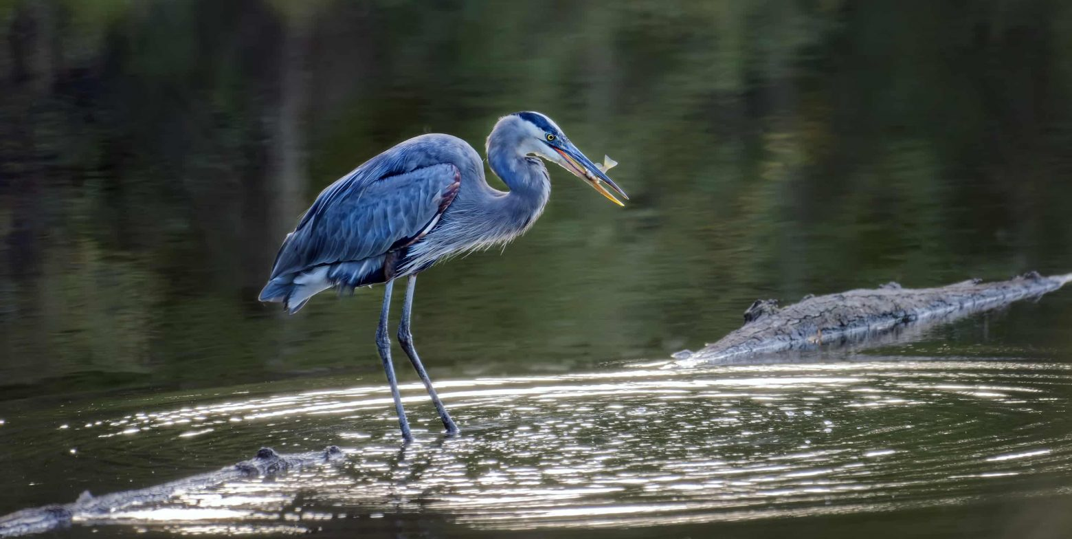 Catch a glimpse of a Blue Heron while bird watching near Chesapeake Bay