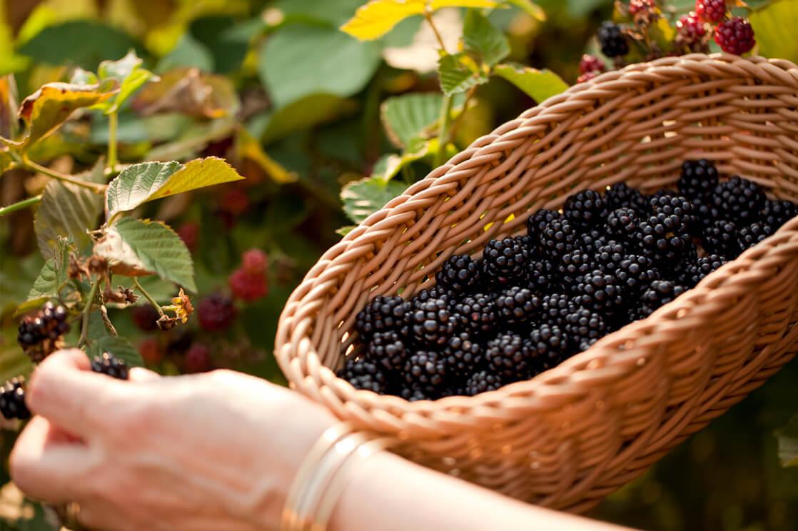 picking blackberries in Maryland