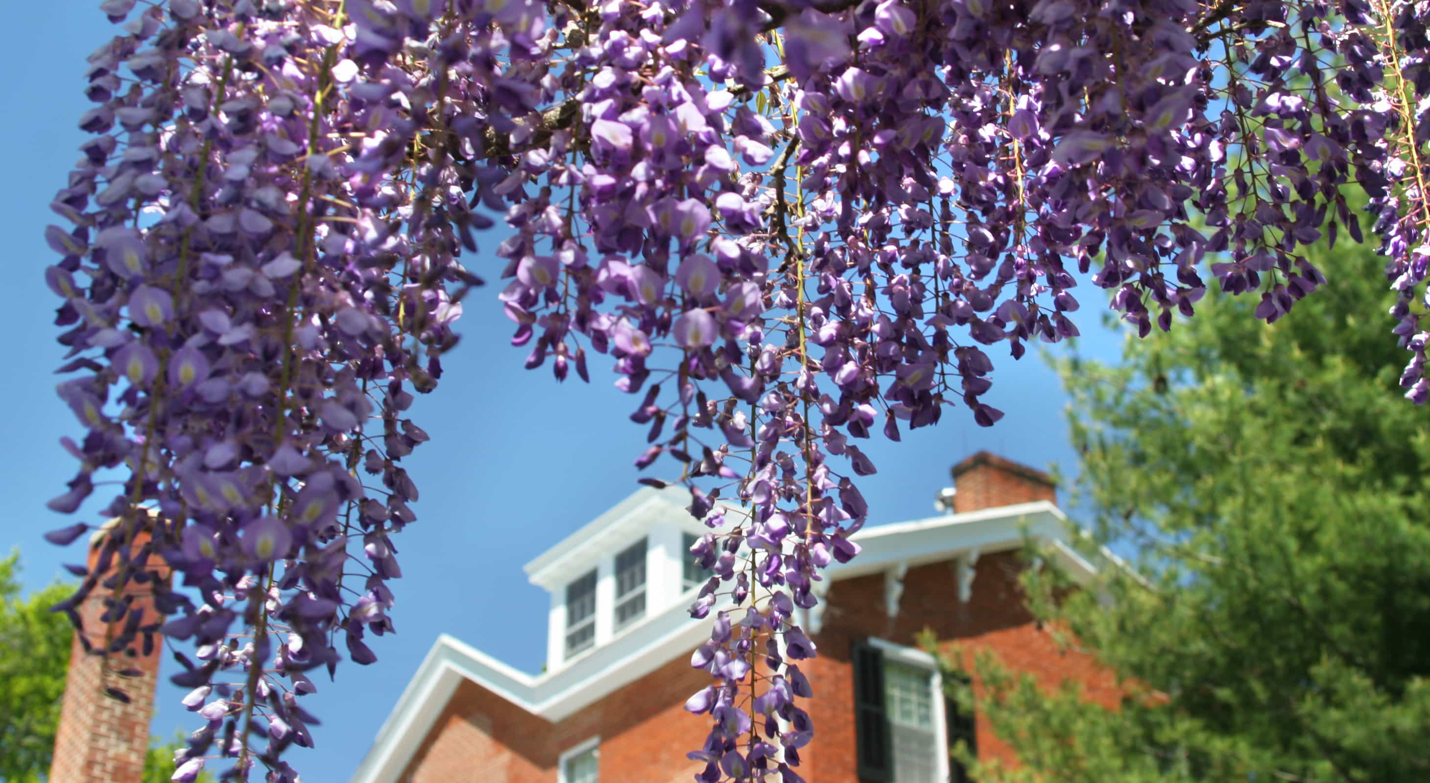 Wandering Wisteria on the grounds of our Eastern Shore Inn